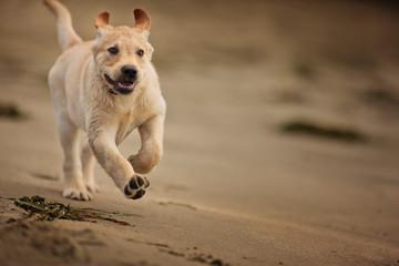 Dog runs on the beach.