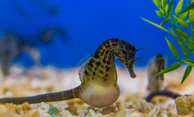 big bellied seahorse in macro closeup, tropical sea animal with a big belly, popular aquarium pet