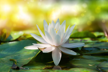 Wall Murals Water lilies Closse up of lotus, water lily flower with soft bokeh and sun light