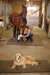 Young rider wrapping polos on thoroughbred mare horse before riding and waiting pet dog lying down panting on the ground