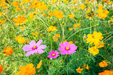 Colorful Flower is blooming beautiful flora in floral, field with sunrise in the morning