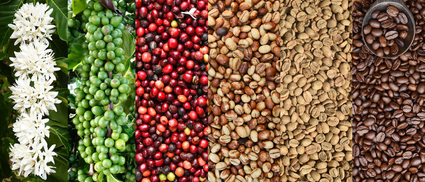 Mix of coffee beans and coffee tree blossom for background