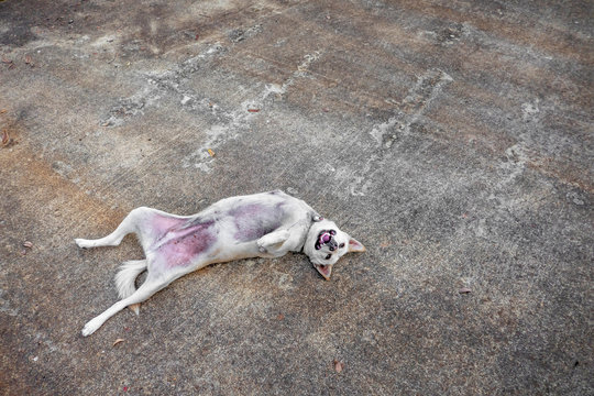 Tne three legs dog from accident is laying down to relax on the ground.