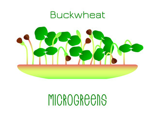Microgreens Buckwheat. Sprouts in a bowl. Sprouting seeds of a plant. Vitamin supplement, vegan food.
