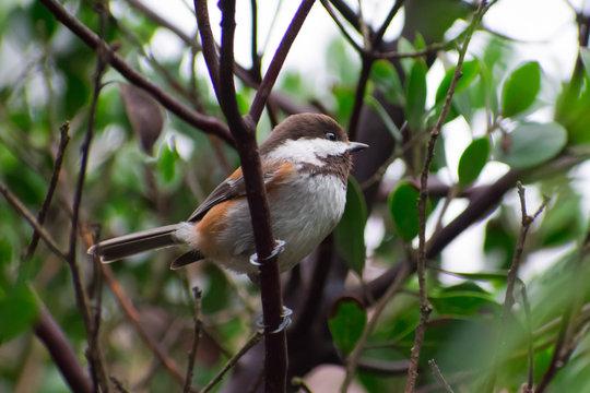 Cute bird perched in a Manzanita bush.