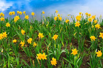 Aluminium Prints Green background of yellow daffodil and blue sky reflection in water