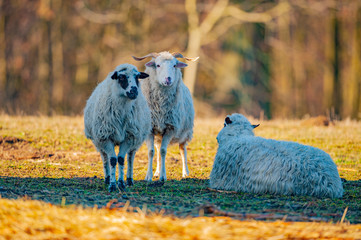 Fototapete - flock of sheep on a meadow