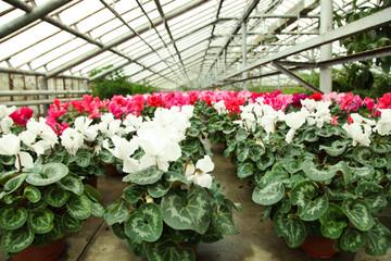 Beautiful cyclamen flowers