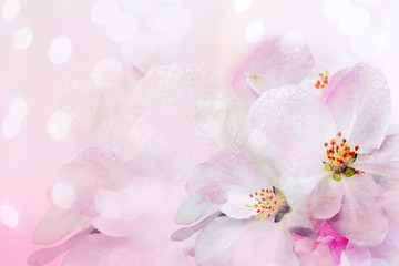 Flowering of the apple tree. Spring background of blooming flowers. White and pink flowers. Beautiful nature scene with a flowering tree. Spring flowers. Beautiful garden. Abstract blurred background