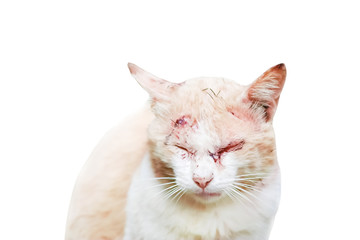 Cat with wound from fight with other cat isolated on white background and clipping path