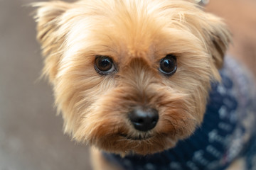 Portrait of a smiling Yorkshire Terrier very loving and affectionate little dog, face close up.