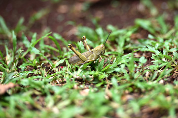 brown wooded grasshopper