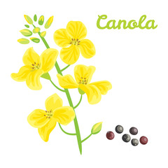 Canola seed oil. Vector illustration isolated on white background. Flower, seeds and glass bottle in flat style. Concept for label, packing, icon or market.