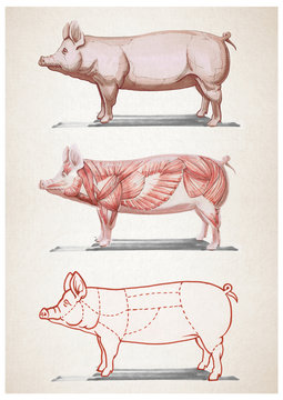 Pork illustration