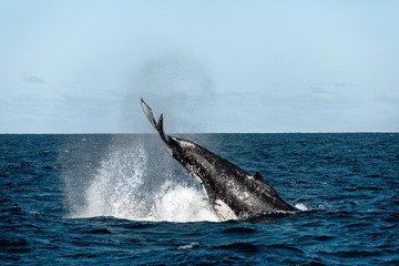 Whale Tail Slapping - Whale watching