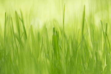 Fresh green grass closeup. Spring sunny day.
