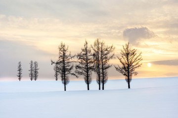 Beautiful scenic view of Christmas tree on a gentle snow and twilight sky sunset background in winter.Group of spruce tree on a hillside in Biei is popular tree in Hokkaido,Japan.Attractive panorama
