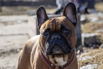 French Bulldog in the parks in the sun