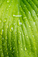 Vertical photo of big green Hosta leaf close up with raindrops.
