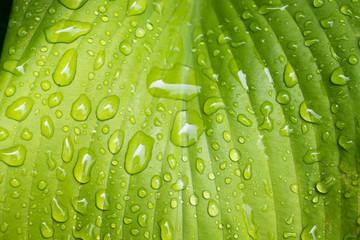 Horizontal photo of big green Hosta leaf close up with raindrops.