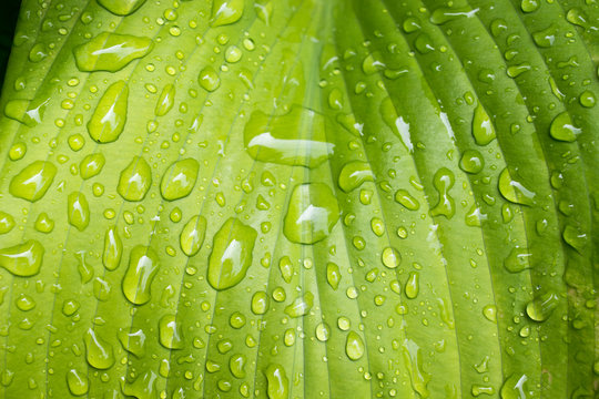 Horizontal photo of big green Hosta leaf close up with raindrops.