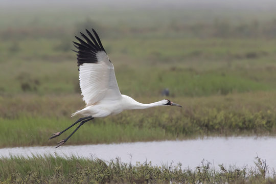 Critically Endangered Whooping Crane in Aransas National Wildlife Refuge on a very foggy morning