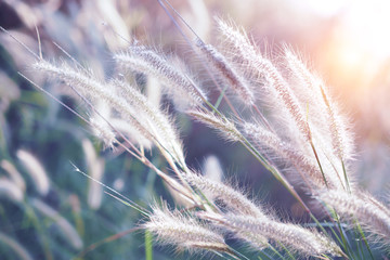 Grass flower with sunset for nature background, soft and blurred focus