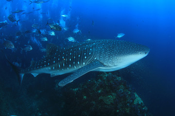 Whale Shark whaleshark