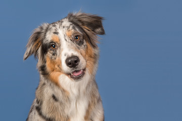 Portrait of a pretty australian shepherd dog on a blue background in a horizontal image