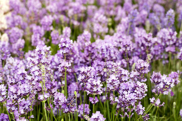 Background of blooming lavander