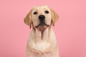 Portrait of a cute labrador retriever puppy on a pink background