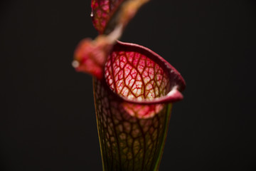 Sarracenia leucophylla flower in foreground Wall mural