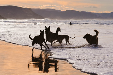 Dogs playing on the beach in a beautiful sunset