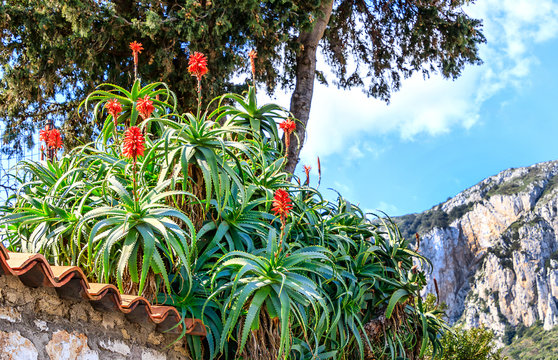 Italy - Capri landscape with flowering Aloe Arborescens, or Candelabra Aloe, or Torch Plant, is an approved medicinal plant and a popular folk medicine remedy.