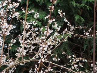 Die Schneeforsythie, Abeliophyllum, ist ein wertvoller Frühblüher