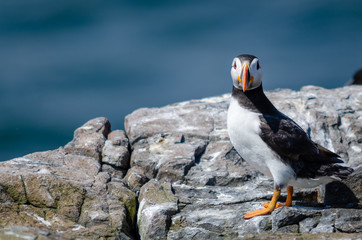 Fototapete - UK Wild Perched Puffin