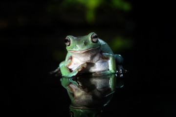 green tree frog in the dark, reflections in water
