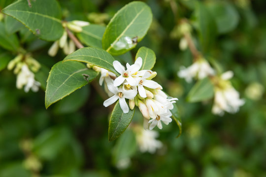 Burkwood Osmanthus Flowers in Bloom in Winter