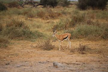 Thomson's gazelle in Amboseli National Park