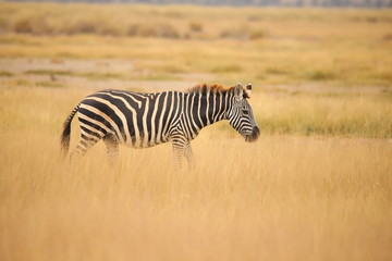 Zebra in the grassland of Amboseli National Park
