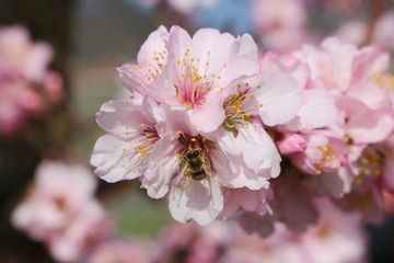 Almond blossoms with bee