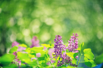 Wall Mural - Lilac flowers blooming outdoors