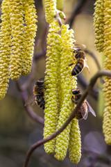pszczoły na kwiatach leszczyny