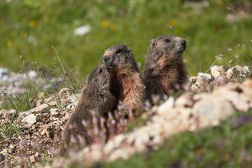 Alpine marmot in the Dolomites Mountains