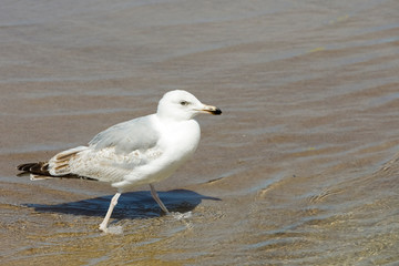A seagull is walking on shallow water