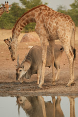 Vertical photo of huge Eland antelope,Taurotragus oryx, standing under angolan giraffe, drinking from waterhole. Animals of arid Etosha national park, Namibia.