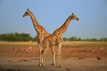 Two  Angolan giraffes, Giraffa giraffa angolensis, also known as Namibian giraffe, standing heads apart next to waterhole. Safari in Etosha national park. Wildlife photography, Namibia.