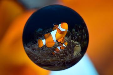 Amazing underwater world - Amphiprion ocellaris - False clown anemonfish (Western clownfish). Diving & underwater photography. Tulamben, Bali, Indonesia.