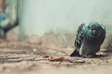 Close-up of one sad and sick pigeon dying in the city yard with depression and apathy atmosphere on soft focus background. Copy space and toned.