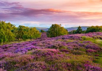 Dramatic skies over Purple and pink heather on Dorset heathland